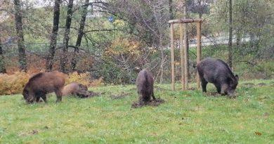 Dziki w Parku Centralnym - 04.11.2019 - fot. S. Olsztyn